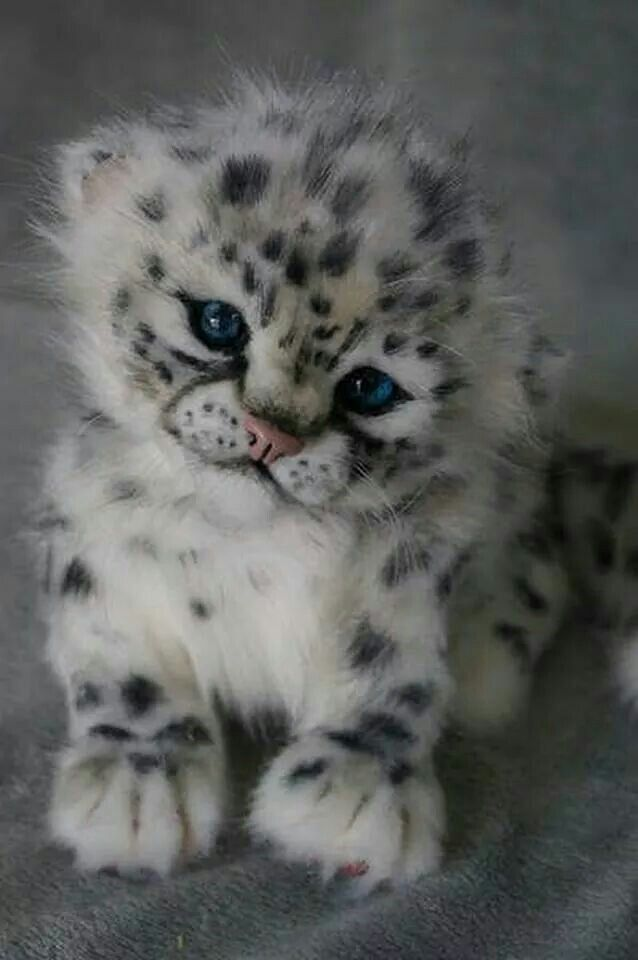 Snow Leopards Crimson Times