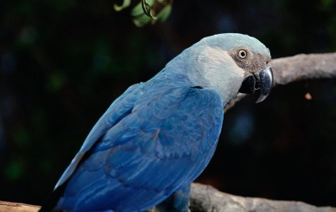The Blue Spix's Macaw