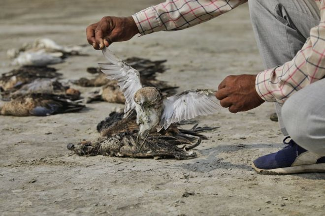 More+Than+2000+Birds+Found+Dead+Near+Indian+Lake